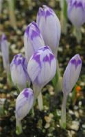 Crocus 'Shock Wave'